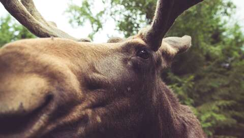 macro photography of brown moose, a relative of the elk | © Photo by Malte Wingen on Unsplash